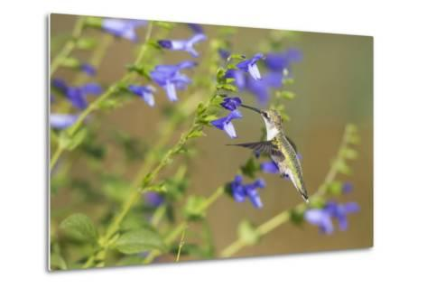 Ruby-Throated Hummingbird at Blue Ensign Salvia, Marion County, Il-Richard and Susan Day-Metal Print