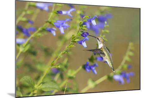 Ruby-Throated Hummingbird at Blue Ensign Salvia, Marion County, Il-Richard and Susan Day-Mounted Photographic Print