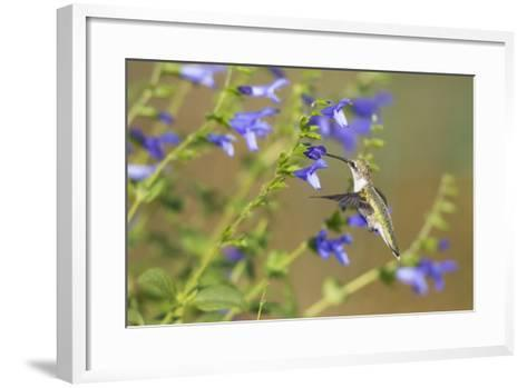 Ruby-Throated Hummingbird at Blue Ensign Salvia, Marion County, Il-Richard and Susan Day-Framed Art Print