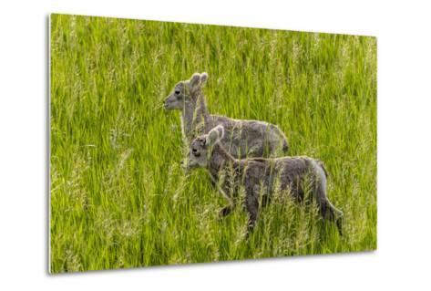 Bighorn Sheep Lambs in Grasslands in Badlands National Park, South Dakota, Usa-Chuck Haney-Metal Print