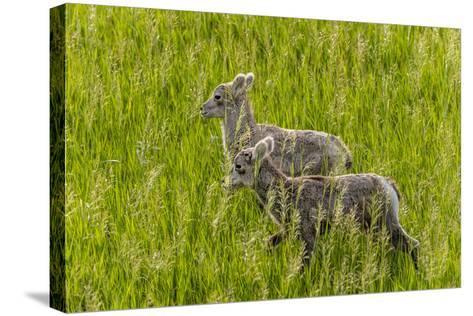 Bighorn Sheep Lambs in Grasslands in Badlands National Park, South Dakota, Usa-Chuck Haney-Stretched Canvas Print