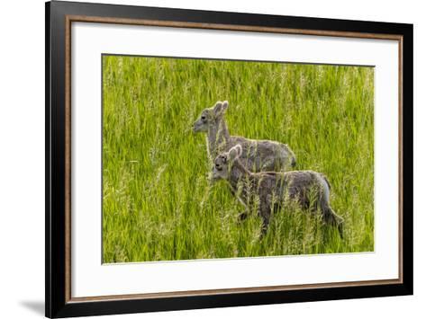 Bighorn Sheep Lambs in Grasslands in Badlands National Park, South Dakota, Usa-Chuck Haney-Framed Art Print