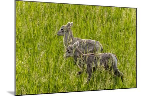 Bighorn Sheep Lambs in Grasslands in Badlands National Park, South Dakota, Usa-Chuck Haney-Mounted Photographic Print