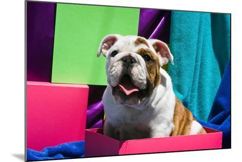 Bulldog Puppy Sitting in Colorful Box-Zandria Muench Beraldo-Mounted Photographic Print