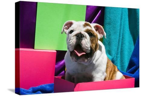 Bulldog Puppy Sitting in Colorful Box-Zandria Muench Beraldo-Stretched Canvas Print
