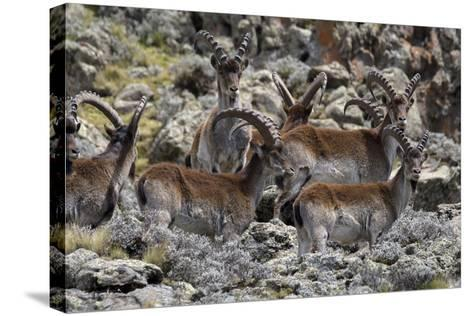 Africa, Ethiopian Highlands, Western Amhara, Simien Mountains National Park. Group of Walia Ibex-Ellen Goff-Stretched Canvas Print