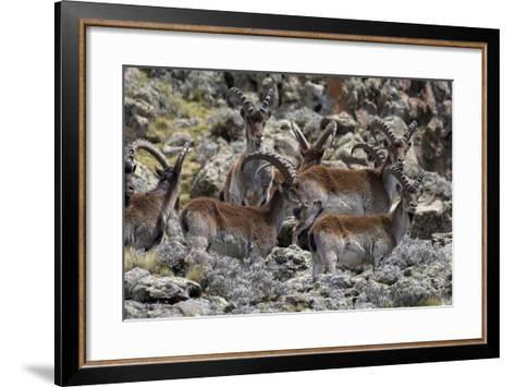 Africa, Ethiopian Highlands, Western Amhara, Simien Mountains National Park. Group of Walia Ibex-Ellen Goff-Framed Art Print