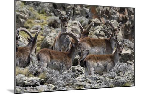 Africa, Ethiopian Highlands, Western Amhara, Simien Mountains National Park. Group of Walia Ibex-Ellen Goff-Mounted Photographic Print