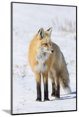 Red Fox-Ken Archer-Mounted Photographic Print