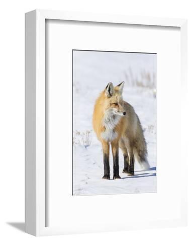 Red Fox-Ken Archer-Framed Art Print
