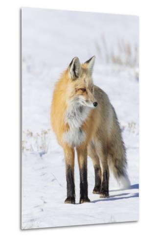 Red Fox-Ken Archer-Metal Print