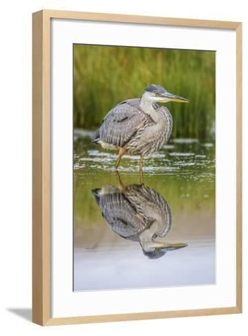Wyoming, a Juvenile Great Blue Heron Forages for Food in a Calm Pond with Full Reflection-Elizabeth Boehm-Framed Art Print