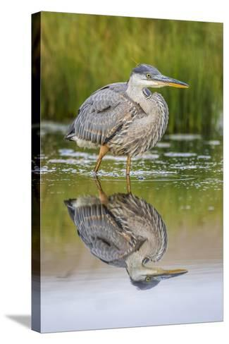 Wyoming, a Juvenile Great Blue Heron Forages for Food in a Calm Pond with Full Reflection-Elizabeth Boehm-Stretched Canvas Print
