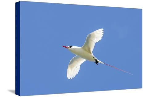 Red-Tailed Tropicbird, Kilauea Point National Wildlife Refuge, Kauai, Hawaii-Michael DeFreitas-Stretched Canvas Print