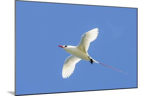 Red-Tailed Tropicbird, Kilauea Point National Wildlife Refuge, Kauai, Hawaii-Michael DeFreitas-Mounted Photographic Print