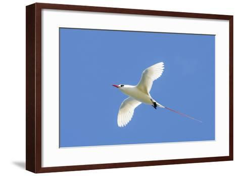 Red-Tailed Tropicbird, Kilauea Point National Wildlife Refuge, Kauai, Hawaii-Michael DeFreitas-Framed Art Print