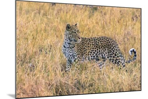 Botswana. Okavango Delta. Khwai Concession. Leopard Starts to Hunt-Inger Hogstrom-Mounted Photographic Print