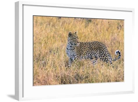 Botswana. Okavango Delta. Khwai Concession. Leopard Starts to Hunt-Inger Hogstrom-Framed Art Print