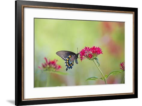 Pipevine Swallowtail Butterfly Male on Red Pentas, Marion County, Il-Richard and Susan Day-Framed Art Print