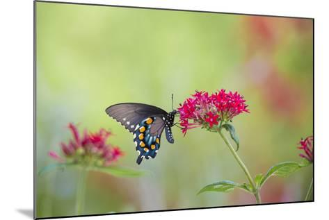 Pipevine Swallowtail Butterfly Male on Red Pentas, Marion County, Il-Richard and Susan Day-Mounted Photographic Print