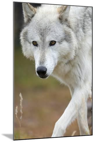 Gray Wolf, Canis Lupus, West Yellowstone, Montana-Maresa Pryor-Mounted Photographic Print