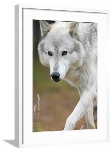 Gray Wolf, Canis Lupus, West Yellowstone, Montana-Maresa Pryor-Framed Art Print