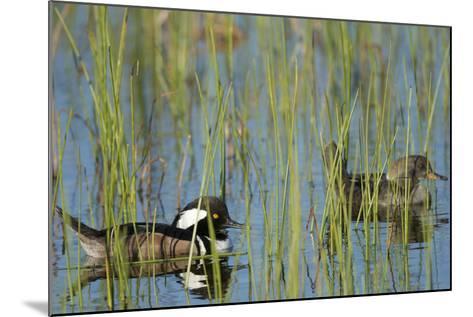 Pair of Hooded Mergansers, Lophodytes Cucullatus, Viera Wetlands, Florida, Usa-Maresa Pryor-Mounted Photographic Print