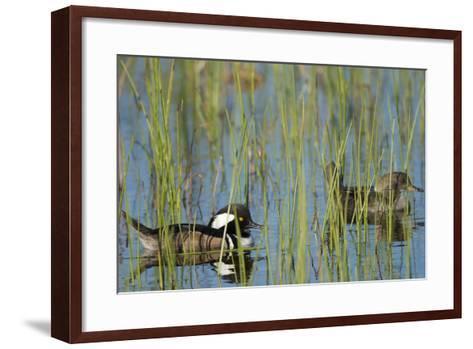 Pair of Hooded Mergansers, Lophodytes Cucullatus, Viera Wetlands, Florida, Usa-Maresa Pryor-Framed Art Print