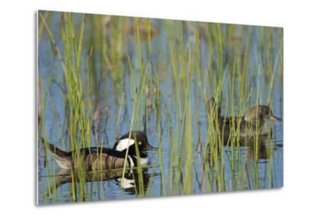 Pair of Hooded Mergansers, Lophodytes Cucullatus, Viera Wetlands, Florida, Usa-Maresa Pryor-Metal Print