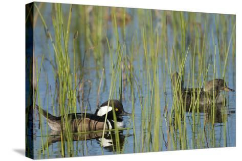 Pair of Hooded Mergansers, Lophodytes Cucullatus, Viera Wetlands, Florida, Usa-Maresa Pryor-Stretched Canvas Print