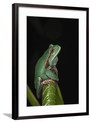Marsupial Frog. South America-Pete Oxford-Framed Art Print