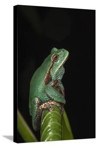 Marsupial Frog. South America-Pete Oxford-Stretched Canvas Print
