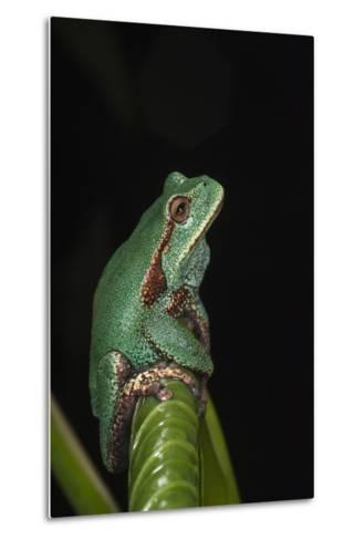 Marsupial Frog. South America-Pete Oxford-Metal Print