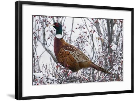 Ring-Necked Pheasant-Ken Archer-Framed Art Print
