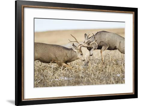 Mule Deer Bucks Fighting During Rut-Larry Ditto-Framed Art Print