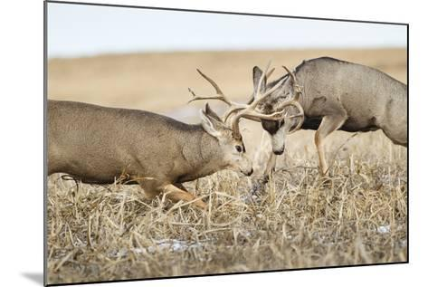 Mule Deer Bucks Fighting During Rut-Larry Ditto-Mounted Photographic Print