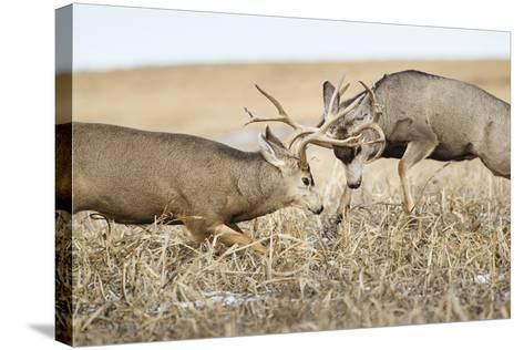 Mule Deer Bucks Fighting During Rut-Larry Ditto-Stretched Canvas Print