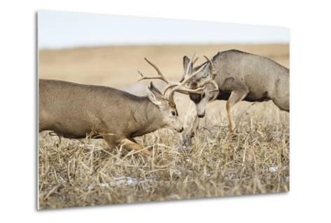 Mule Deer Bucks Fighting During Rut-Larry Ditto-Metal Print