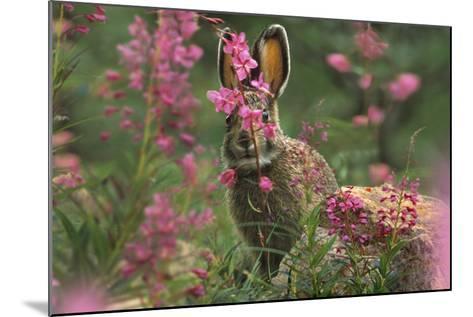 Snowshoe Hare, Alaska, Usa-Tim Fitzharris-Mounted Photographic Print