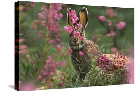 Snowshoe Hare, Alaska, Usa-Tim Fitzharris-Stretched Canvas Print