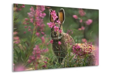 Snowshoe Hare, Alaska, Usa-Tim Fitzharris-Metal Print