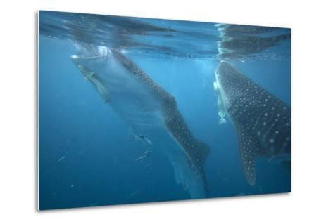 Whale Sharks Feeding at the Surface, Cebu, Philippines-Tim Fitzharris-Metal Print