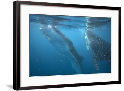 Whale Sharks Feeding at the Surface, Cebu, Philippines-Tim Fitzharris-Framed Art Print