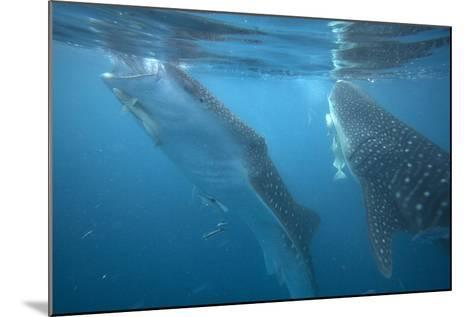 Whale Sharks Feeding at the Surface, Cebu, Philippines-Tim Fitzharris-Mounted Photographic Print