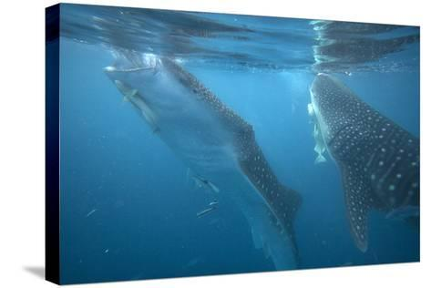 Whale Sharks Feeding at the Surface, Cebu, Philippines-Tim Fitzharris-Stretched Canvas Print