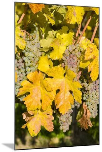 Vineyards Near Village Spitz in Wachau, Austria-Martin Zwick-Mounted Photographic Print