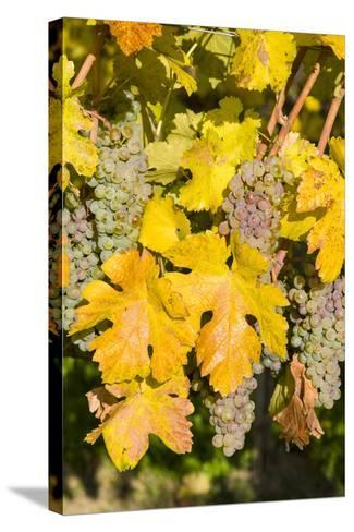 Vineyards Near Village Spitz in Wachau, Austria-Martin Zwick-Stretched Canvas Print