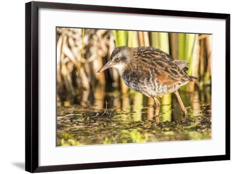 Wyoming, Sublette County, a Young Virginia Rail Forages in a Cattail Marsh-Elizabeth Boehm-Framed Art Print
