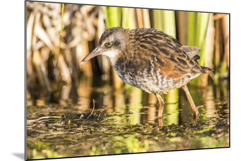 Wyoming, Sublette County, a Young Virginia Rail Forages in a Cattail Marsh-Elizabeth Boehm-Mounted Photographic Print