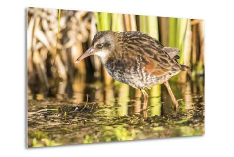 Wyoming, Sublette County, a Young Virginia Rail Forages in a Cattail Marsh-Elizabeth Boehm-Metal Print